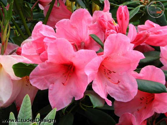 گل سمی