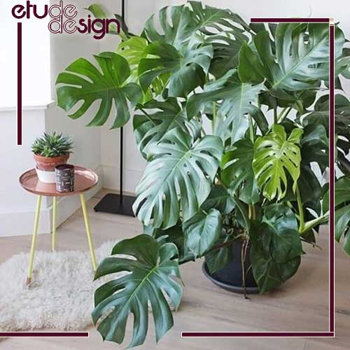 گیاه برگ انجیری یا فیلودندرون