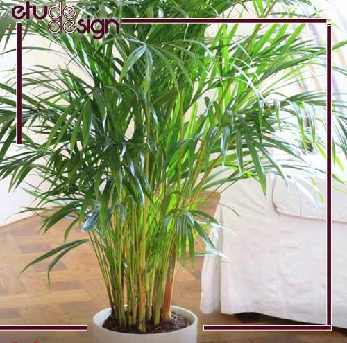 گیاه چتر پاپیروس